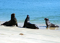 Sea lions come up onto Surat Bay