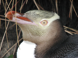 View Yellow Eyed Penguins with Private Discovery Tours