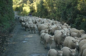 Some of the 32 million sheep in NZ